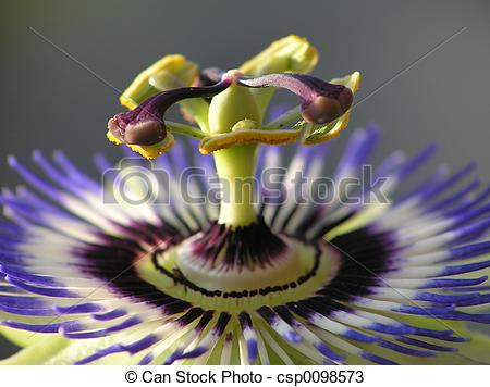 Stock Photos of Blue passion flower.