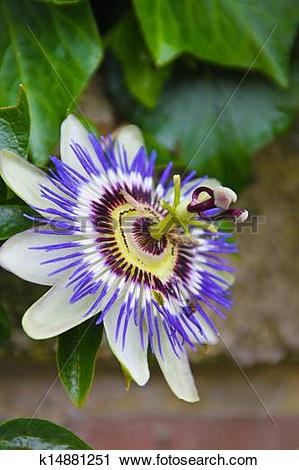 Stock Photography of Blue passion flower k14881251.