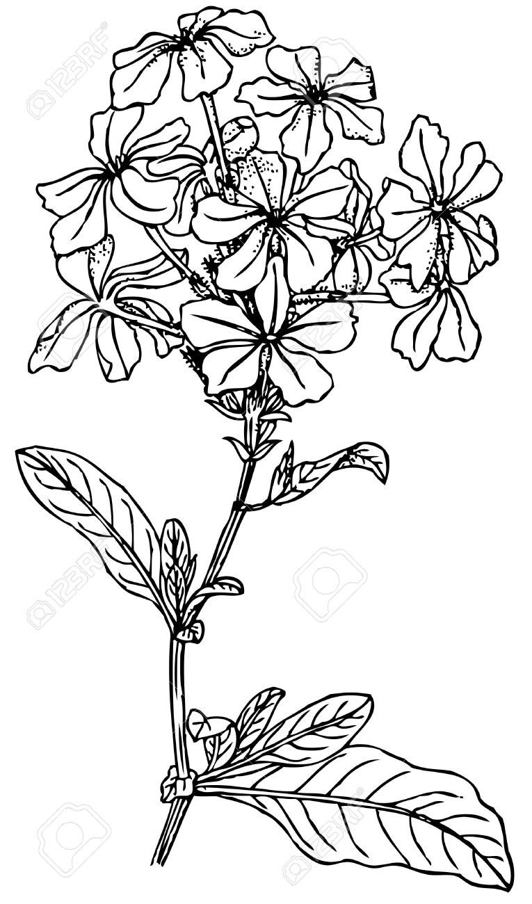 Plant Plumbago Capensis (Blue Plumbago) Royalty Free Cliparts.