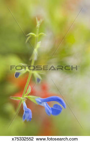 Stock Photo of Blue sage (Salvia patens), 'Cambridge Blue.
