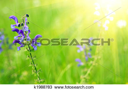 Stock Photo of blue sage in sunlight k1988783.