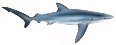 Free Blue Shark Clipart, 1 page of Public Domain Clip Art.