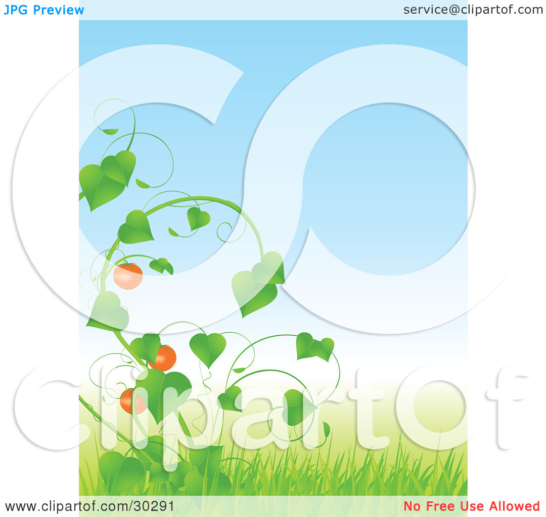 Clipart Illustration of Tomatoes Growing On A Lush Green Vine In.