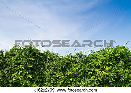 Stock Photograph of Vine wall against blue sky k16252799.