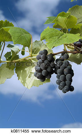 Stock Image of black grapes on vine against cloudy blue sky.