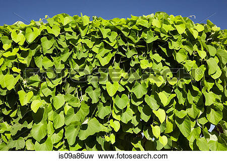 Picture of Evergreen climbing vine against blue sky is09a86uw.