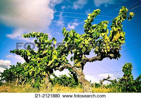 Stock Photography of Vineyard, vine, blue sky. Alt Pened?s.