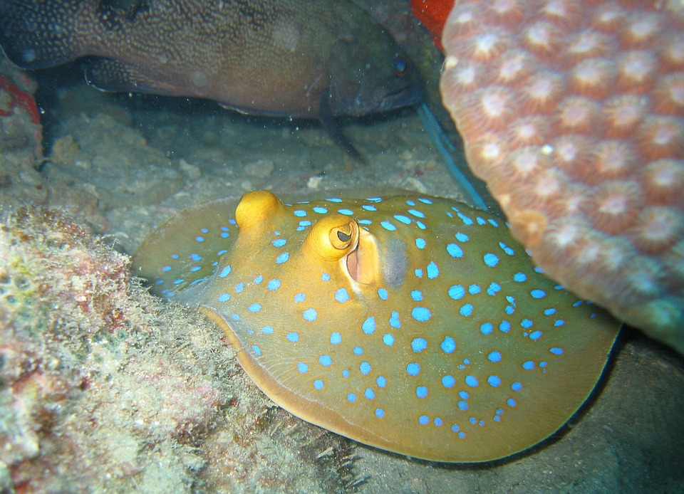 Free photo: Blue Spotted Stingray, Stingray.