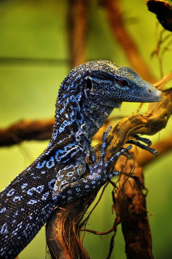 Blue Tree Monitor (Varanus macraei).