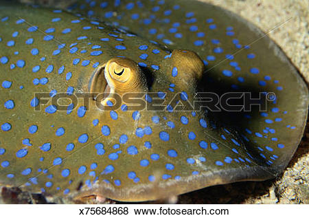Pictures of Blue Spotted Stingray x75684868.