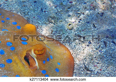 Stock Photo of Blue spotted stingray k27113404.
