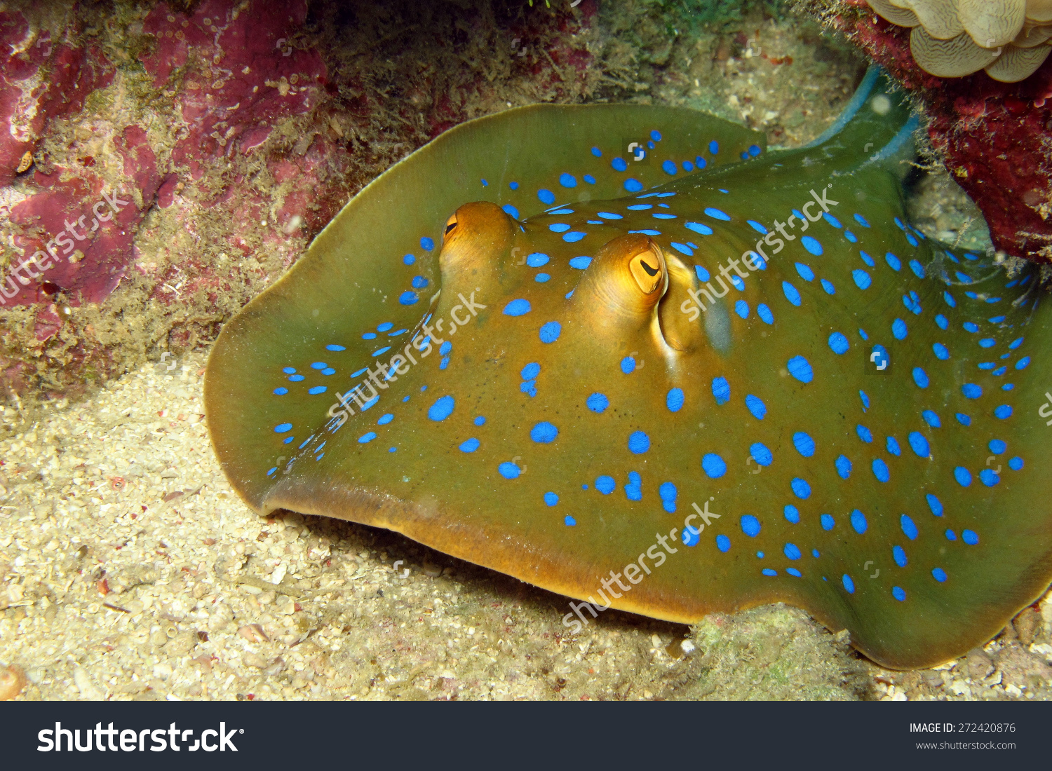Blue Spotted Stingray Sipadan Malaysia Stock Photo 272420876.