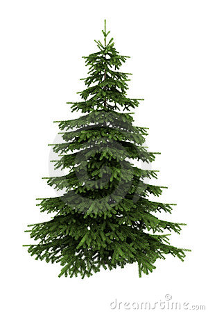 Blue spruce clipart.