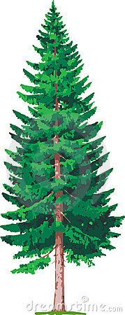 Spruce tree clipart royalty free.