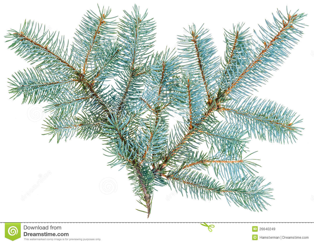 Blue Spruce Twig Isolated Stock Photos.