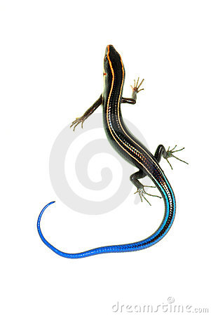 Blue Tail Skink Lizard Stock Images.