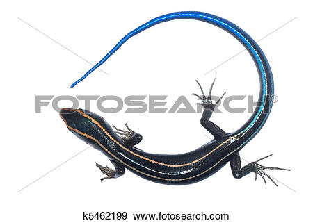 Stock Photograph of blue tail skink lizard k5462199.