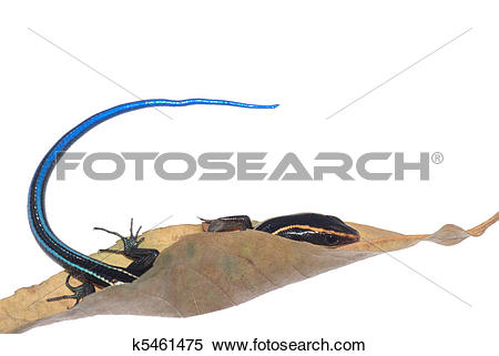 Stock Image of blue tail skink lizard k5461475.