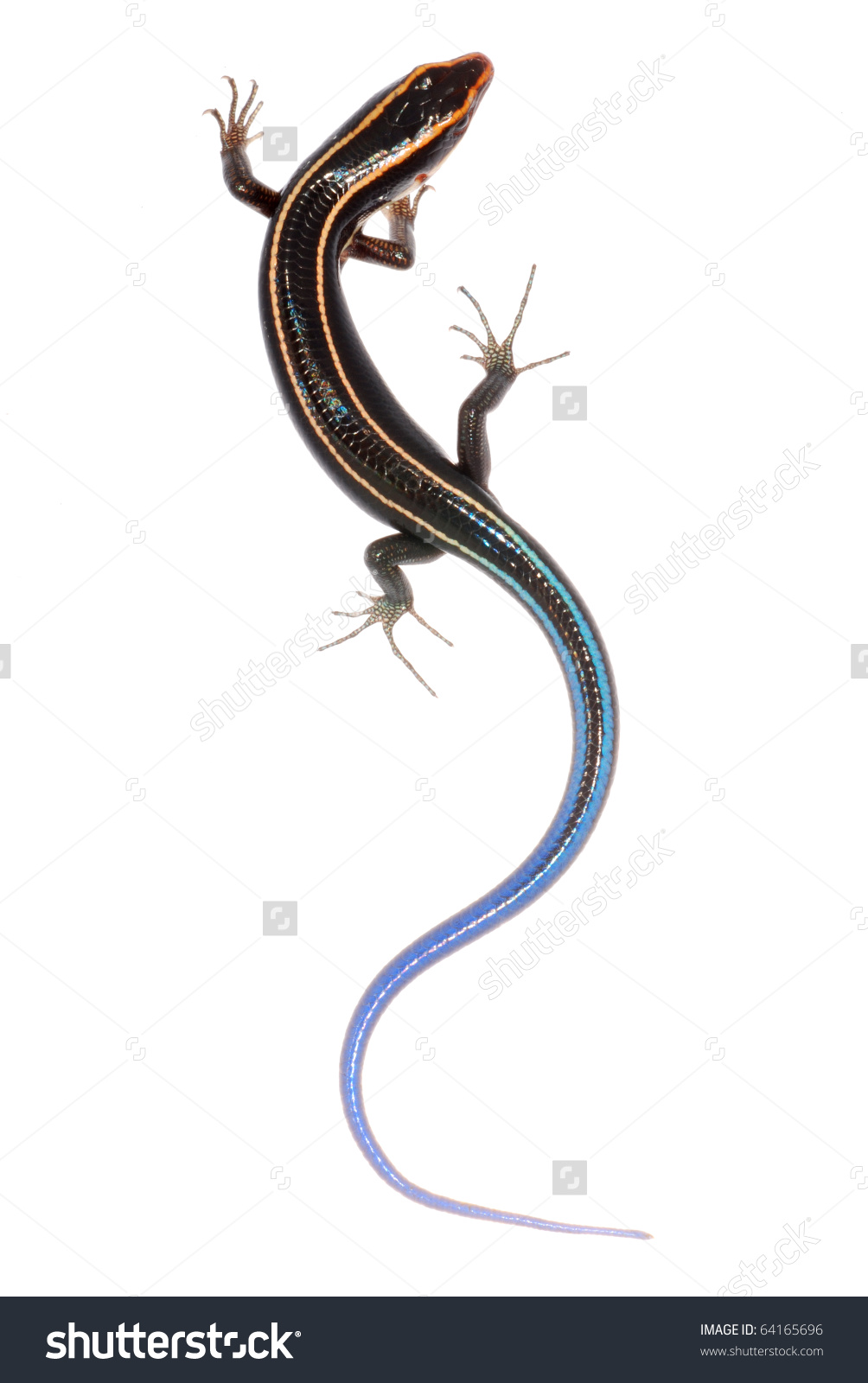 Blue Tailed Skink Lizard Clip Art.