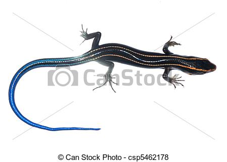 Pictures of blue tail skink lizard isolated csp5462178.