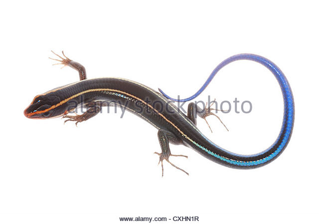 Blue Tail Skink Stock Photos & Blue Tail Skink Stock Images.
