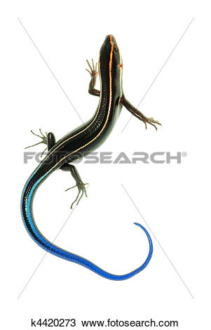 Stock Photo of blue tail skink lizard k4420273.