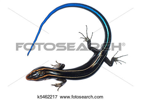 Picture of blue tail skink lizard k5462217.