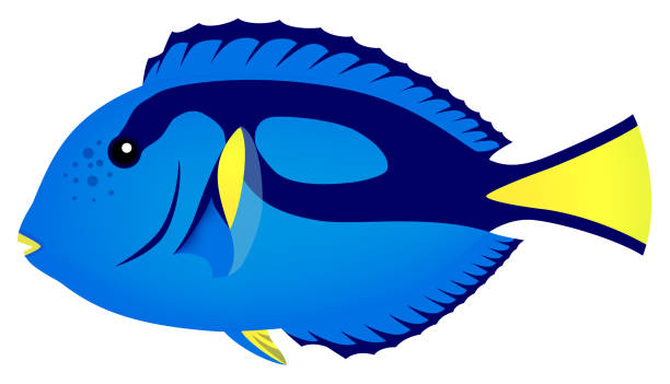 Top 60 Blue Tang Fish Clip Art, Vector Graphics and Illustrations.