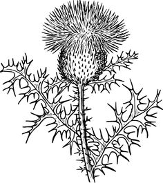 images of scottish thistles.
