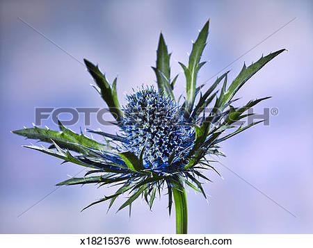 Stock Images of close up of a prickly blue thistle blossom flower.