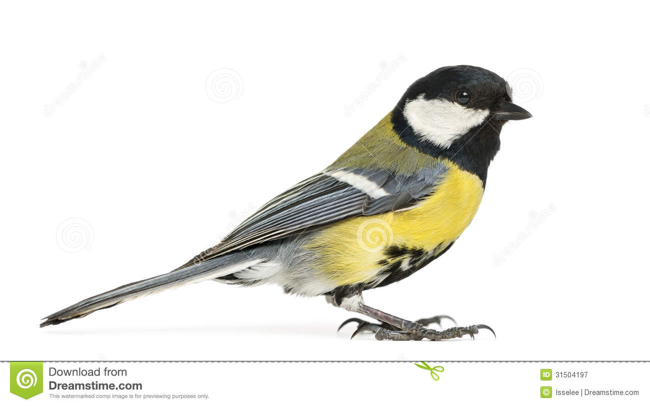 Blue Tit, 23 Days Old, Flapping Wings Against Stock Images.