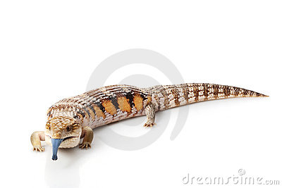 Eastern Blue Tongued Skink White Stock Photos, Images, & Pictures.