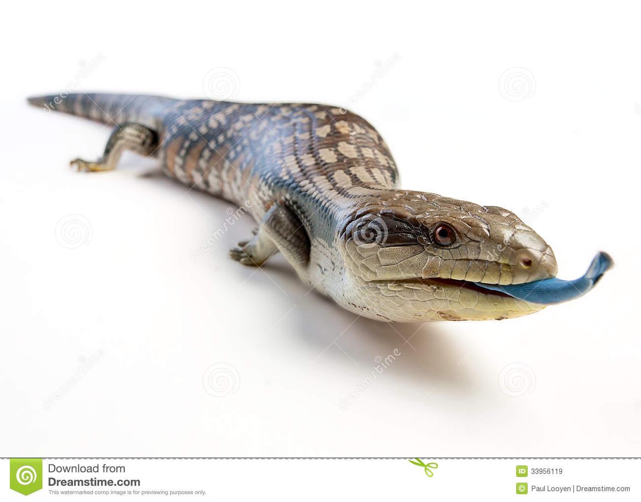Blue tongue lizard clipart.