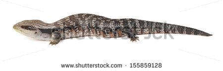 Australian Saltwater Crocodile Crocodylus Porosus Jaws Stock Photo.
