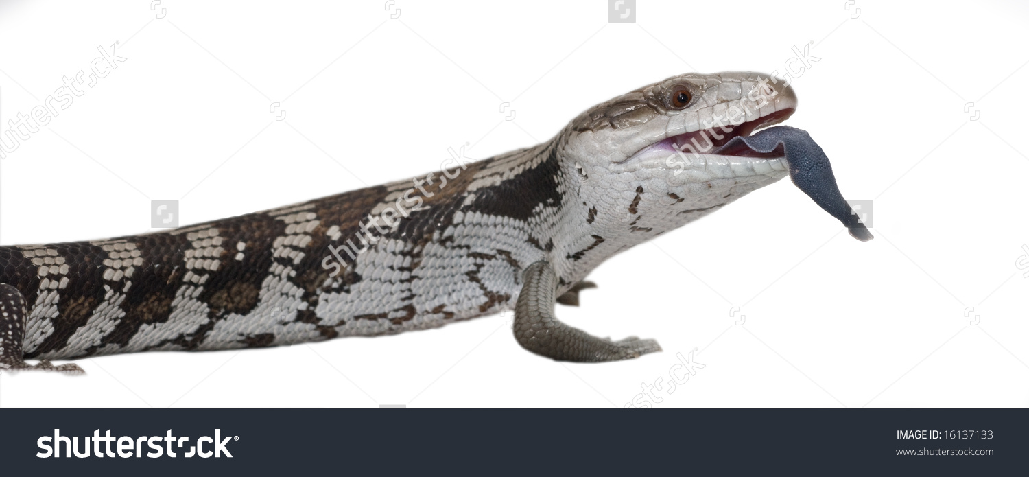 Blue Tongue Lizard On White Background, With Tongue Out. Easy To.