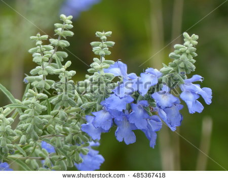 Lamiaceae Stock Photos, Royalty.