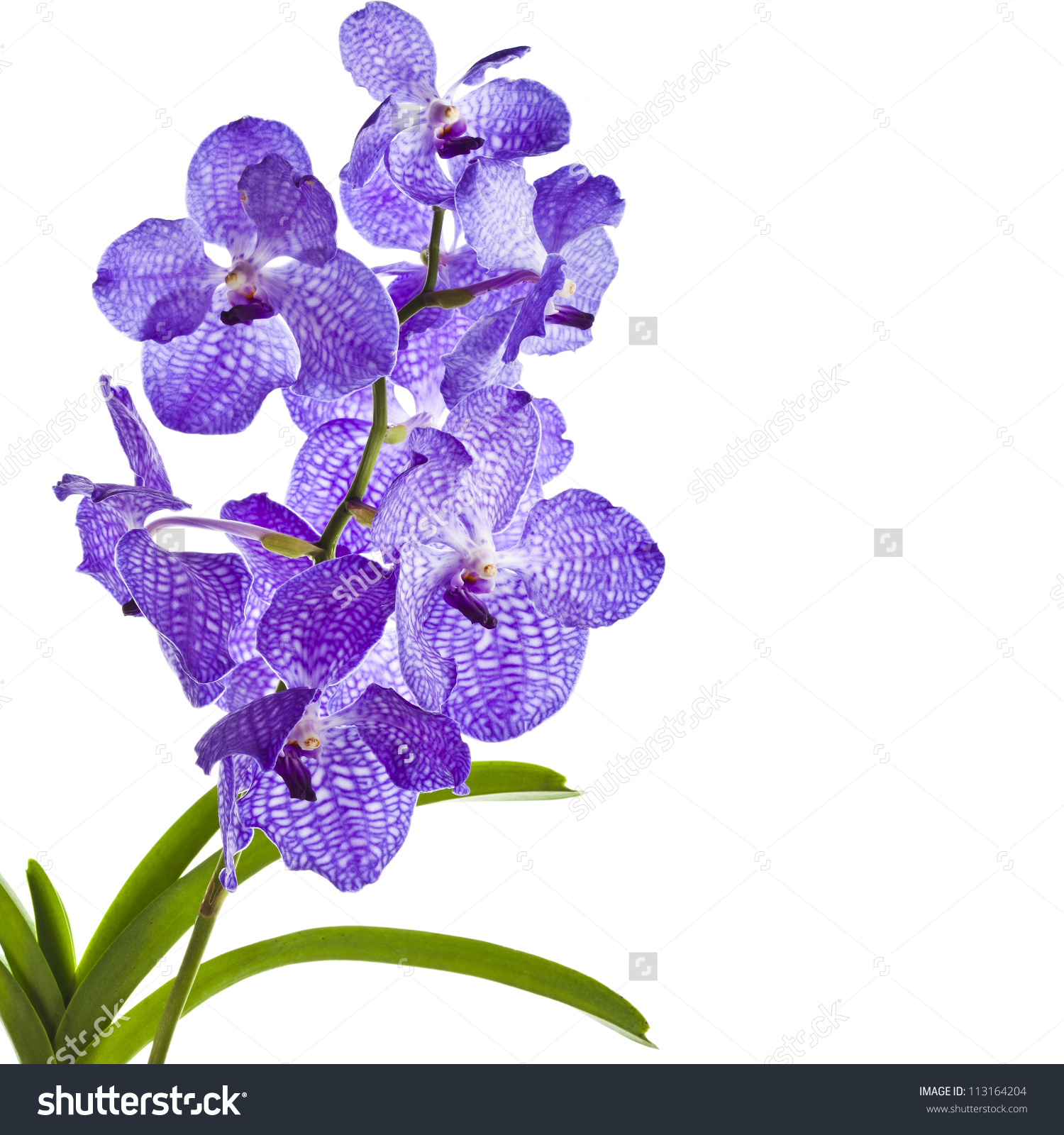 Blue Orchid Vanda Sansai Blue Border Stock Photo 113164204.