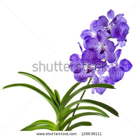Vanda Orchid Stock Images, Royalty.