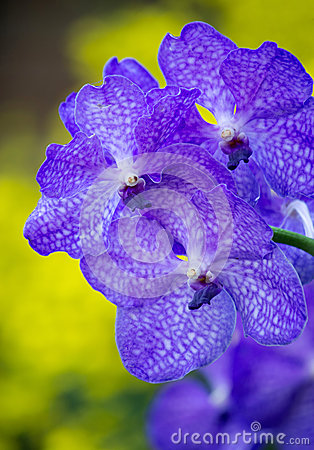 Blue Vanda Orchid Royalty Free Stock Photography.
