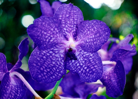 Blue Vanda Orchid Fine Art Photo Greeting Card Flower Photography.