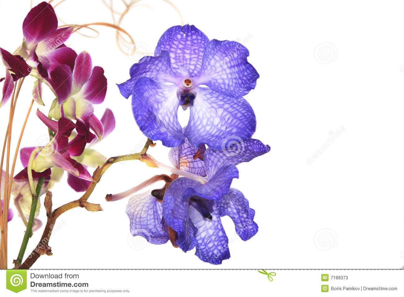 Blue Vanda Orchid On White Stock Photos.