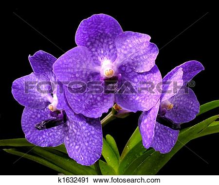 Stock Photography of 'Princess Mikasa' Blue Vanda Orchid k1632491.