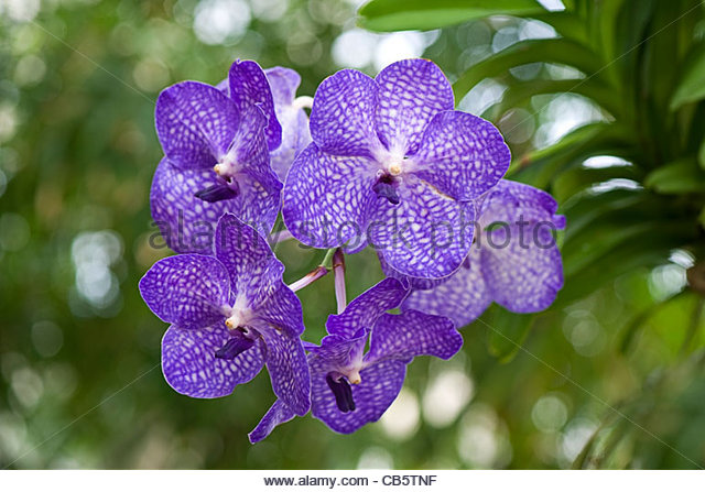Purple Vanda Orchids Stock Photos & Purple Vanda Orchids Stock.