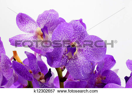 Picture of Blue orchid (vanda sansai blue) k12302657.