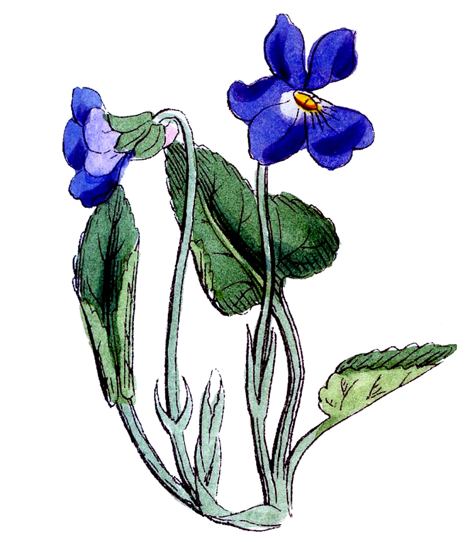 Blue violet clipart - Clipground