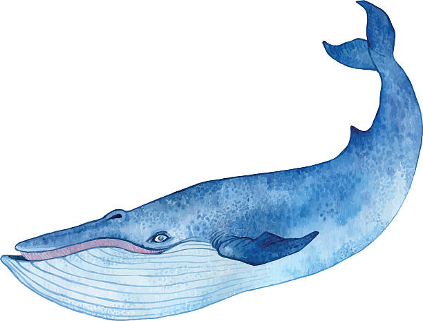 Best Blue Whale Illustrations, Royalty.