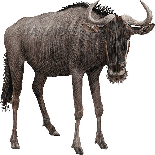 Blue Wildebeest (Connochaetes taurinus) clipart graphics (Free.