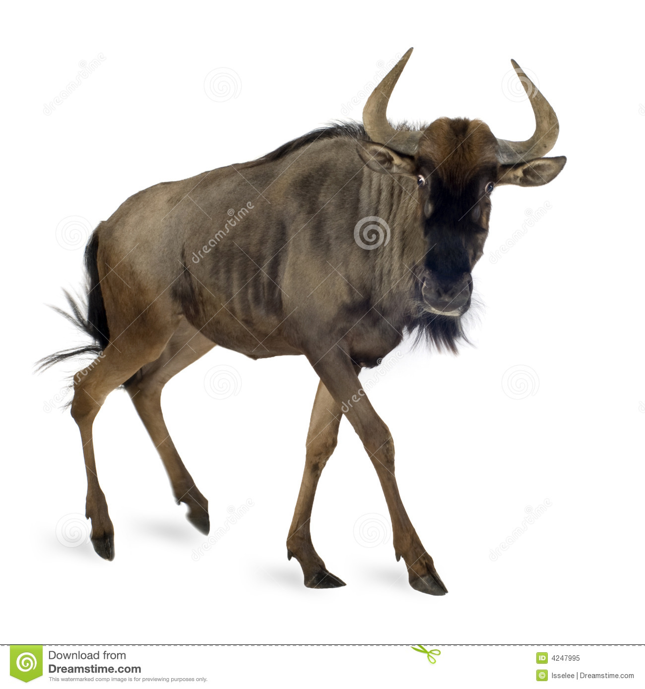 Blue Wildebeest Stock Photo.