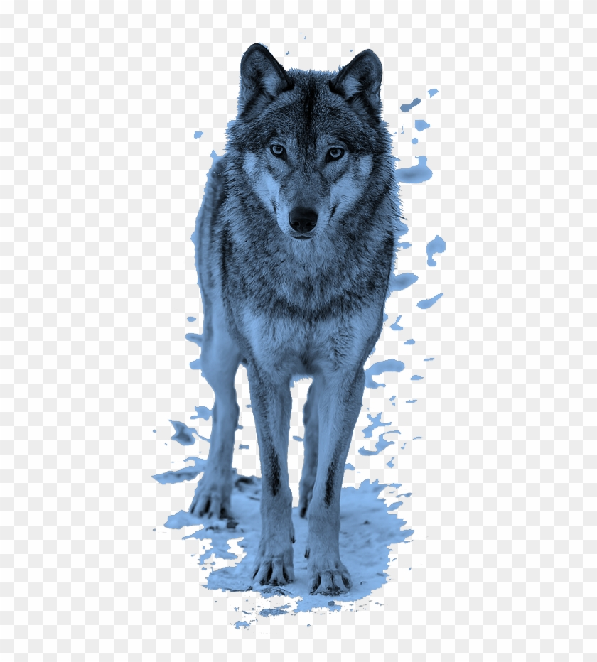 mq #blue #wolf #animal #animals #wolfs.