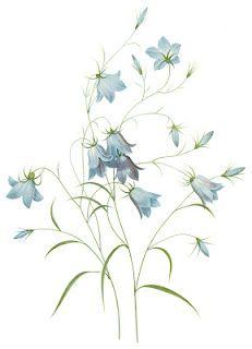 Campanula_rotundifolia_liten_blåklocka.jpg (438×683).